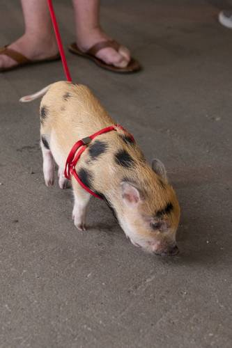 pigs-of-the-vintage-garage-chicago